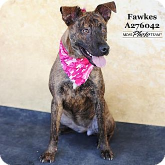 Black Mouth Cur Mix Dog for adoption in Conroe, Texas - FAWKES
