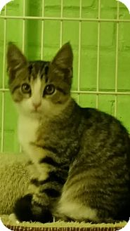 Domestic Shorthair Kitten for adoption in Bloomingdale, New Jersey - Harlow