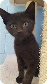 Domestic Shorthair Kitten for adoption in Circleville, Ohio - Batman