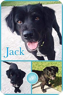 Newfoundland Mix Dog for adoption in Spring, Texas - Jack