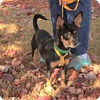 Miniature Pinscher/Chihuahua Mix Dog for adoption in Poughkeepsie, New York - Calista