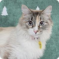 Adopt A Pet :: Sapphire - Chico, CA