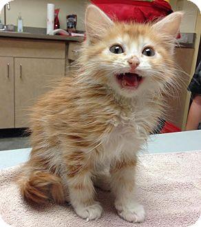 Domestic Longhair Kitten for adoption in Larned, Kansas - Scarlett