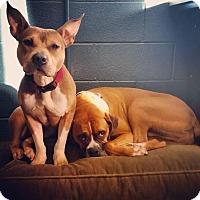 Adopt A Pet :: Nola - Villa Park, IL