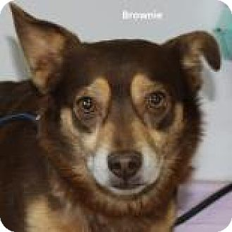 Chihuahua Mix Dog for adoption in Madisonville, Tennessee - Brownie