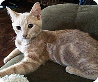 Domestic Shorthair Kitten for adoption in Lebanon, Pennsylvania - Simba