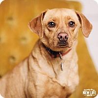 Adopt A Pet :: Angel - Portland, OR