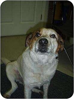 Beagle Dog for adoption in Longs, South Carolina - Freckles