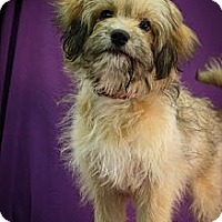 Adopt A Pet :: Stormy - Broomfield, CO