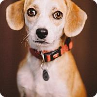Adopt A Pet :: Ramona - Portland, OR