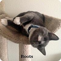Adopt A Pet :: Boots - Bentonville, AR