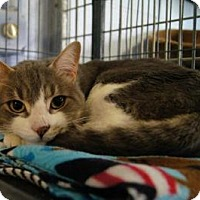 Adopt A Pet :: Smoke - New Milford, CT
