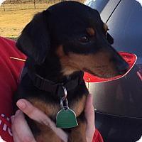 Adopt A Pet :: Pinto - Wyanet, IL