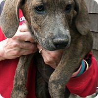 Adopt A Pet :: Maddie - Sudbury, MA