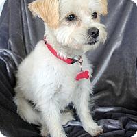 Adopt A Pet :: Juno - Encino, CA