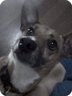 Chihuahua/Dachshund Mix Dog for adoption in Greenville, Ohio - bentley