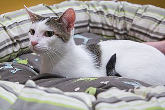 Domestic Shorthair Cat for adoption in Coppell, Texas - Leah