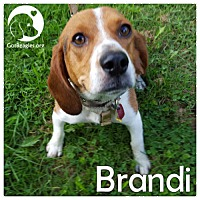 Adopt A Pet :: Brandi - Pittsburgh, PA