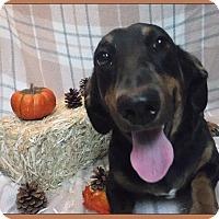 Adopt A Pet :: Puddles - Batesville, AR