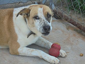 Cattle Dog/Blue Heeler Mix Dog for adoption in Anton, Texas - Cecilia