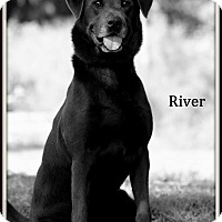 Labrador Retriever Dog for adoption in Dixon, Kentucky - River