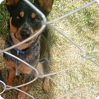 Adopt A Pet :: Rowen - Denver, CO
