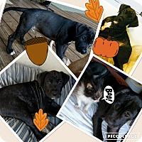 Adopt A Pet :: BOOMER - Media, PA