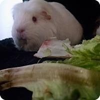 Adopt A Pet :: Godiva - Aurora, CO