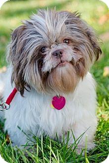 Shih Tzu Dog for adoption in Fremont, California - Winnie