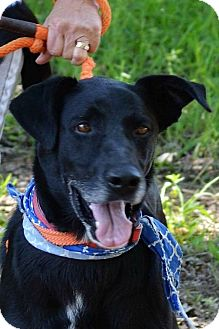 Labrador Retriever/German Shepherd Dog Mix Dog for adoption in Albemarle, North Carolina - Donovan