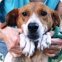 Adopt A Pet :: Polly - Lexington, MA