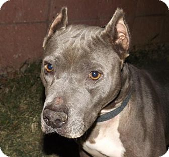 Pit Bull Terrier Mix Dog for adoption in Oxford, Mississippi - Lilly - Foster Care