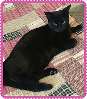 Domestic Shorthair Cat for adoption in Valley City, North Dakota - Phoebe