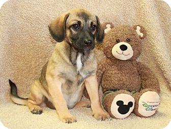 Pug/Beagle Mix Puppy for adoption in Norfolk, Virginia - Gayle