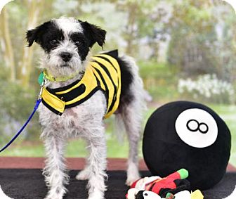Wirehaired Fox Terrier/Poodle (Miniature) Mix Dog for adoption in Marina Del Ray, California - LUNA