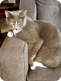 Domestic Shorthair Cat for adoption in Houston, Texas - Vincent