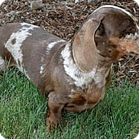 Adopt A Pet :: DREXLER - Portland, OR