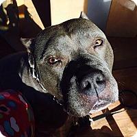 Adopt A Pet :: Chello - Cary, IL