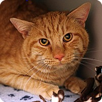Adopt A Pet :: Garfield - Gilbert, AZ
