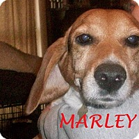 Adopt A Pet :: MARLEY - Ventnor City, NJ