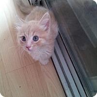 Domestic Mediumhair Kitten for adoption in Mesa, Arizona - Coco