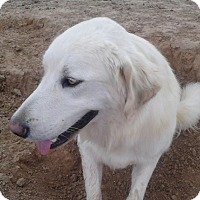 Golden Retriever/Great Pyrenees Mix Dog for adoption in Wichita Falls, Texas - Duke