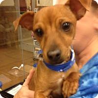 Adopt A Pet :: Nico - Bedford, TX