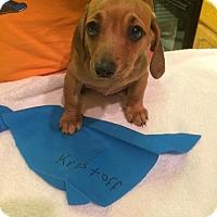 Adopt A Pet :: Kristoff (Puppy 9) 'SHIH-WEENIE' - Los Angeles, CA