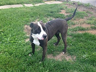 Pit Bull Terrier Dog for adoption in Otterbein, Indiana - Rowdy