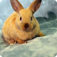 Other/Unknown Mix for adoption in Montclair, California - Munchkin