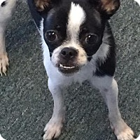 Japanese Chin/Chihuahua Mix Dog for adoption in Cleburne, Texas - Gracie