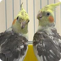 Adopt A Pet :: SPARKLES - Boston, MA