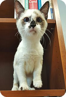 Siamese Kitten for adoption in Albemarle, North Carolina - Lady Bird Johnson