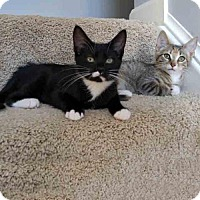 Domestic Shorthair Kitten for adoption in Arlington, Virginia - Maggie and Misty